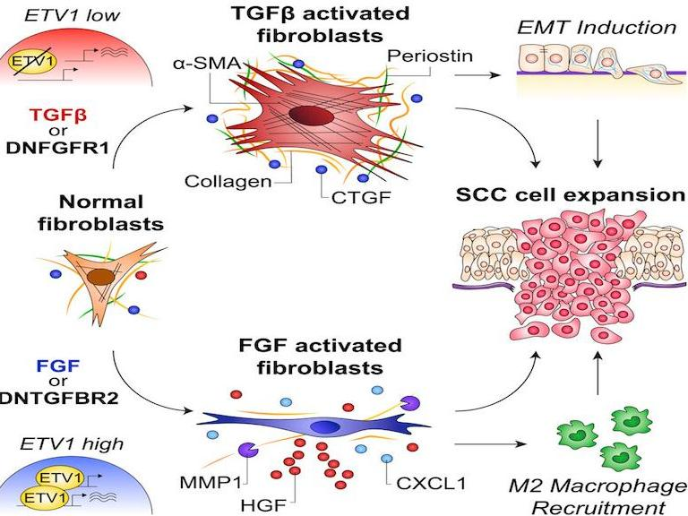 FGF and TGF-β signaling exert opposite roles in the control of cancer-associated fibroblasts heterogeneity
