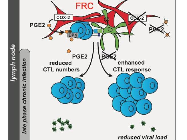 Lymph node fibroblasts suppress chronic T cell responses via prostanoid release