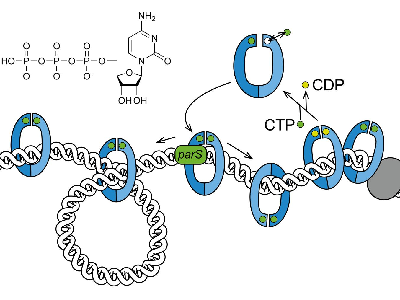 New DMF discovery: ParB is a CTPase