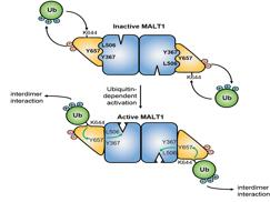 New molecular insights into the mechanisms of lymphocyte activation and lymphoma development