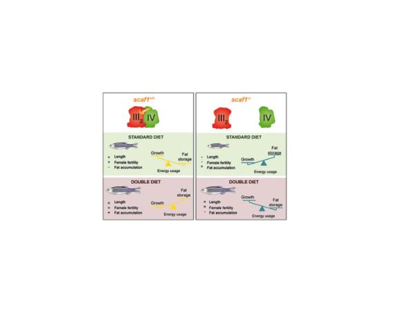 Scaf1 Promotes Respiratory Supercomplexes and Metabolic Efficiency in Zebrafish