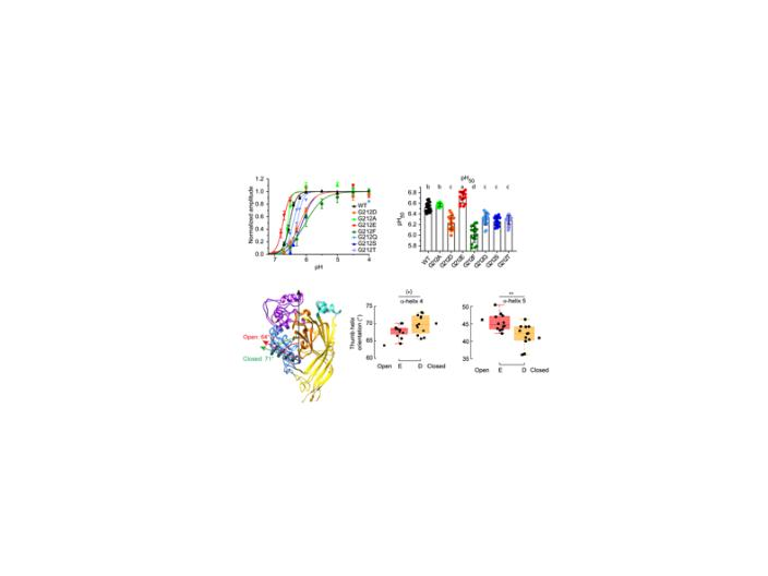 Structural and Functional Analysis of Gly212 Mutants Reveals the Importance of Intersubunit Interactions in ASIC1a Channel Function