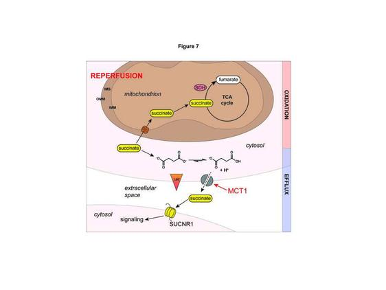 Mechanism of succinate efflux upon reperfusion of the ischemic heart