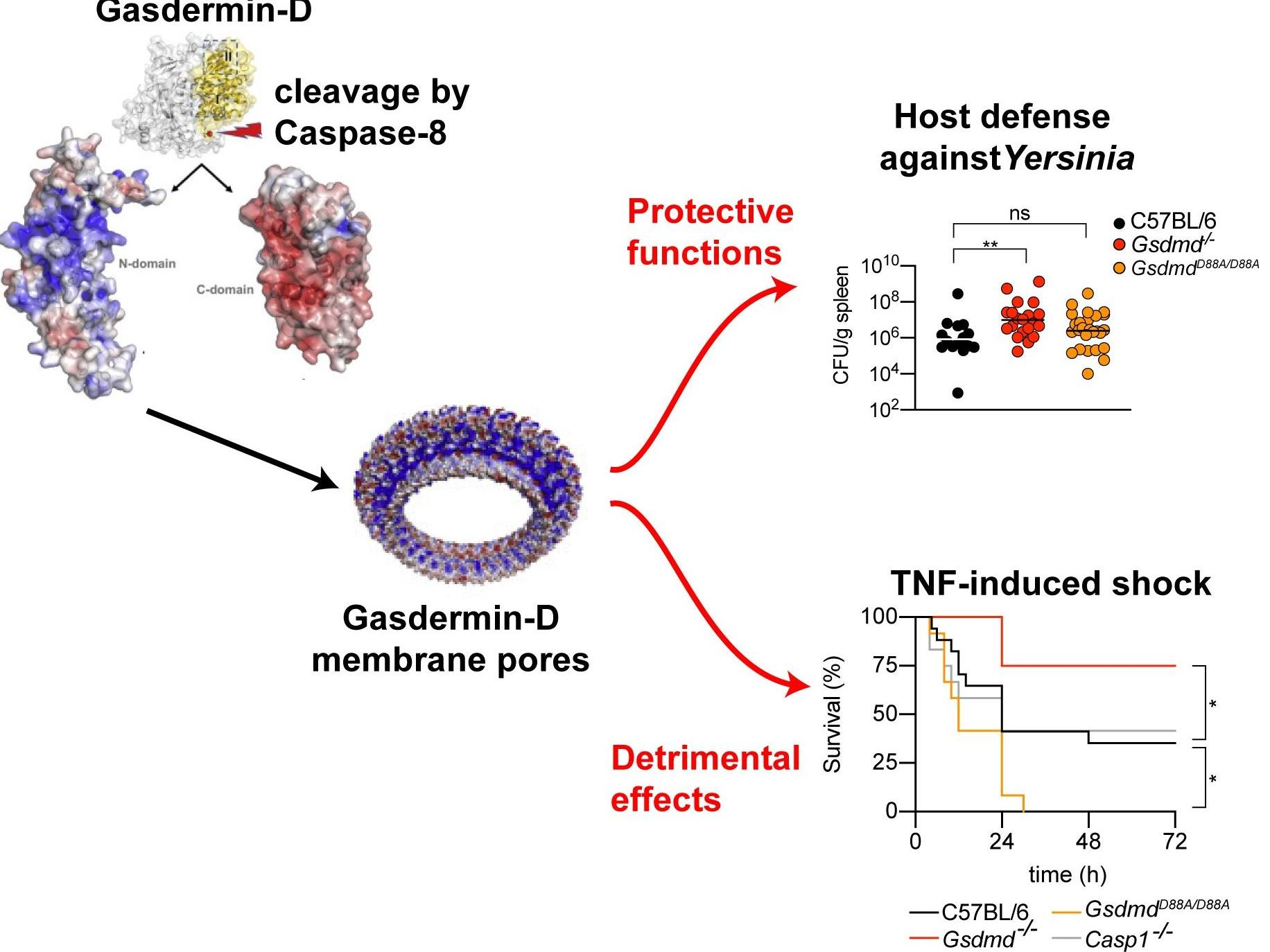 Cell death executor Gasdermin-D has both protective and detrimental functions