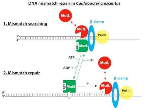Spatial coupling between DNA replication and DNA mismatch repair in an Alphaproteobacterium.