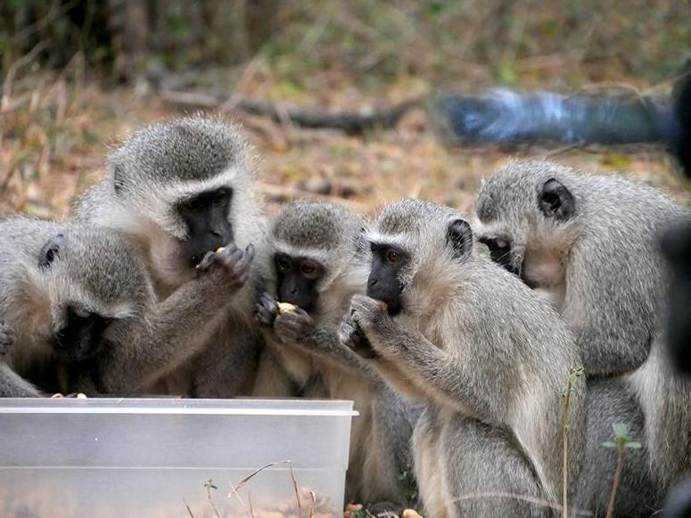 À table, les singes copient la technique la plus efficace